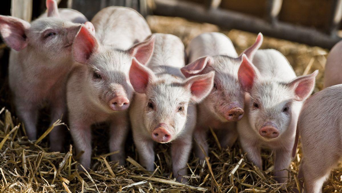 Ferkel im Schweinestall (Symbolbild)