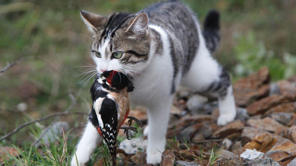 Um herauszufinden, ob Katzen wirklich massenhaft Vögel töten, hat der Biologe Martin Wikelski einen speziellen Sender entwickelt. Im Bild: Katze mit einem Specht im Maul.