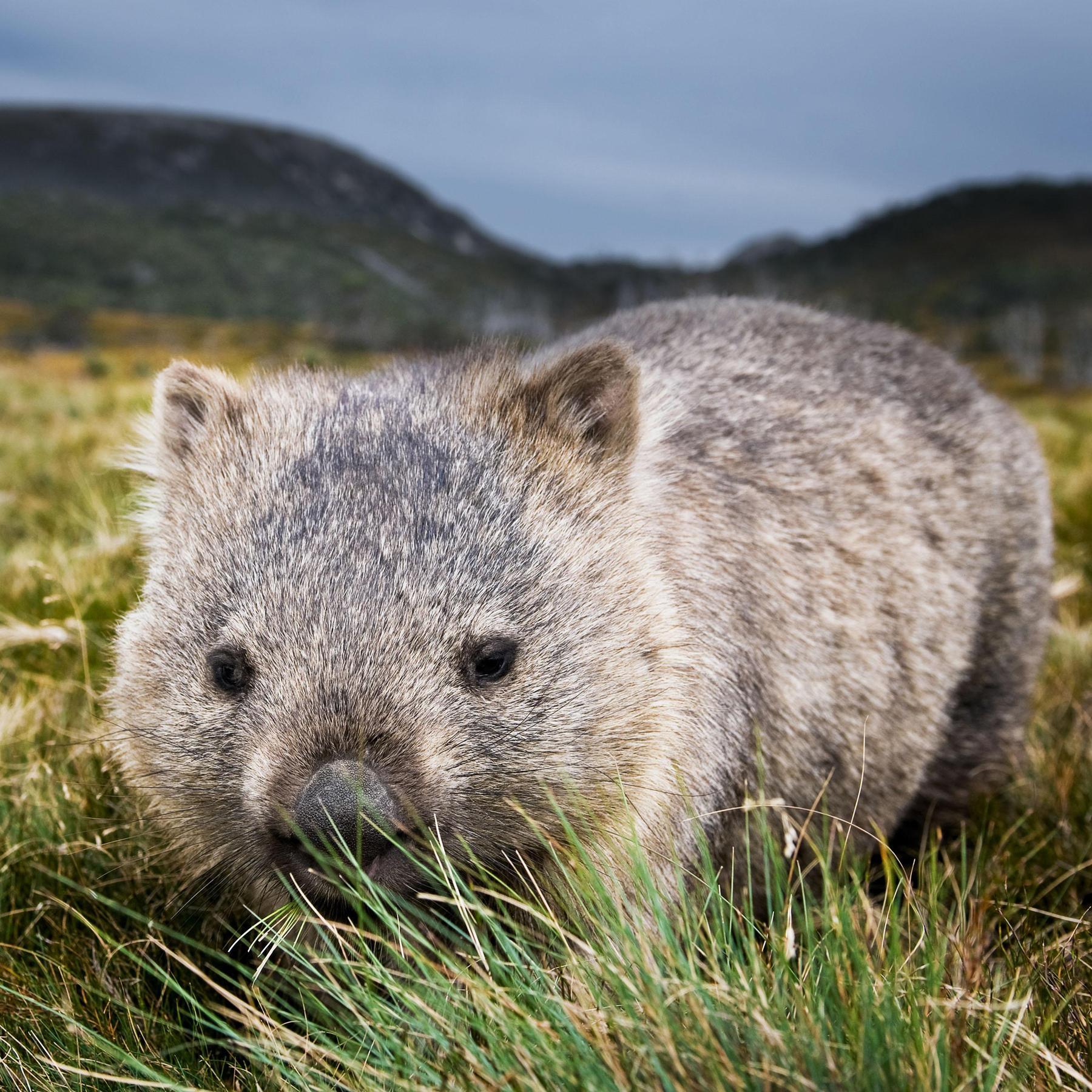 Der Wombat - Relikt aus Australiens Urzeit