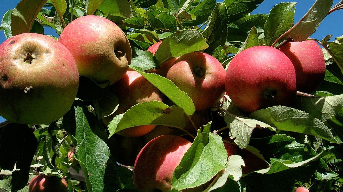 Apfel hängen am Baum