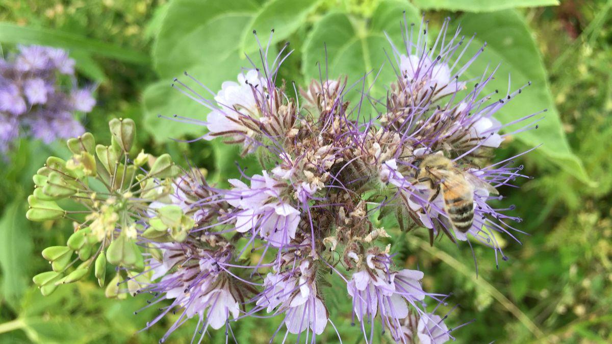 Blühfläche lockt Bienen an