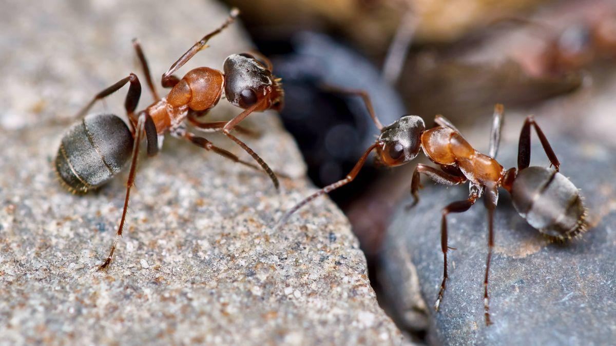 Zwei Ameisen im Garten