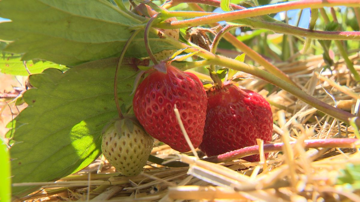 Erdbeersaison startet in Franken
