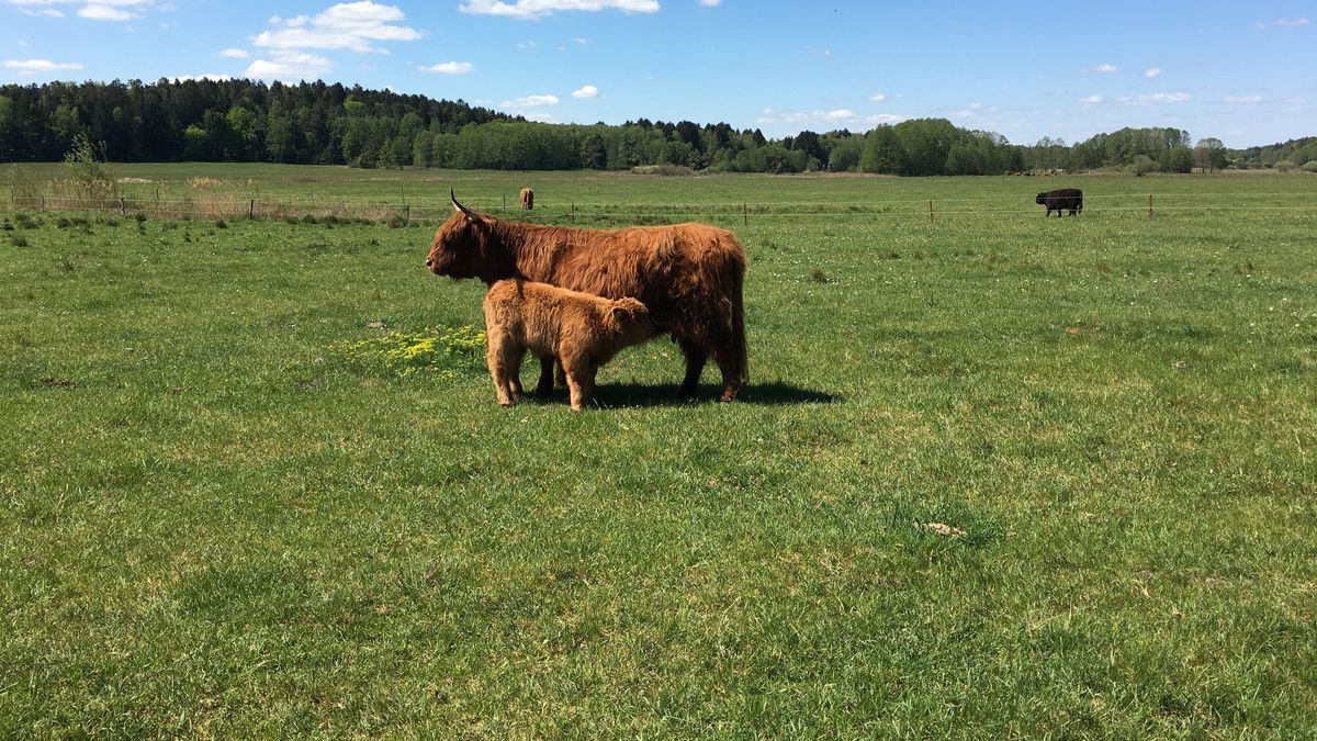 Bio-Hochland-Rinder auf der Weide im Landschaftsschutzgebiet Forstmoos bei Aiglsbach im niederbayerischen Kreis Kelheim