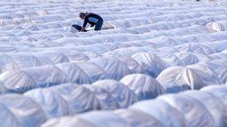 Ein Mann sticht Spargel auf einem Feld | Bild:dpa-Bildfunk/Jens Büttner
