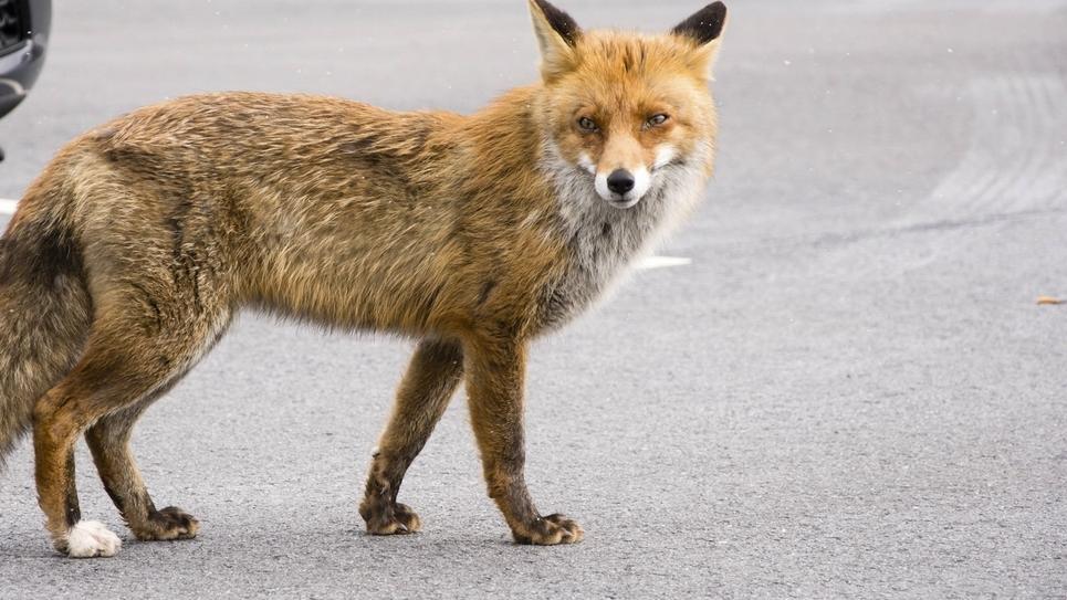 Fuchs läuft durch oberbayerische Stadt.