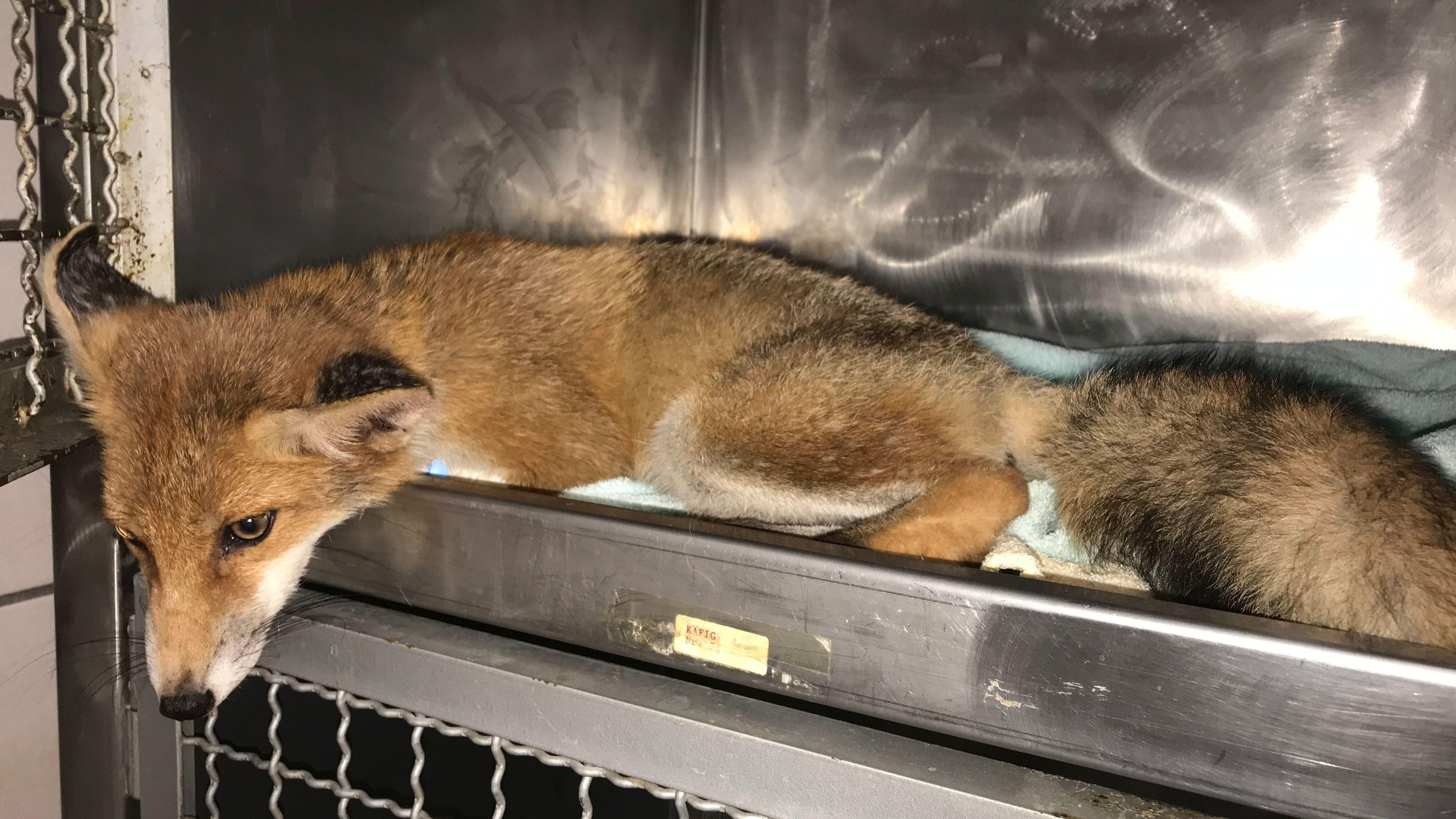 Nach einem Autounfall wurde der angefahrene Fuchswelpe in die Amberger Tierklinik gebracht.