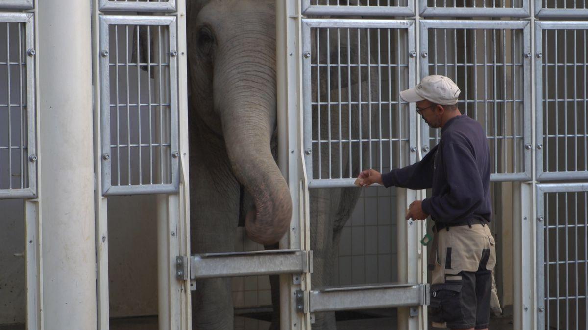 Elefantenkuh Temi in Box mit Tierpfleger bei der Schwangerschaftsgymnastik