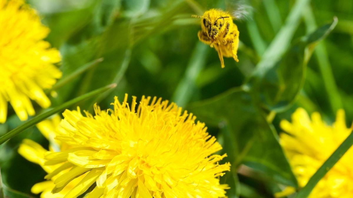 Gelbe Biene in Blütenstaub