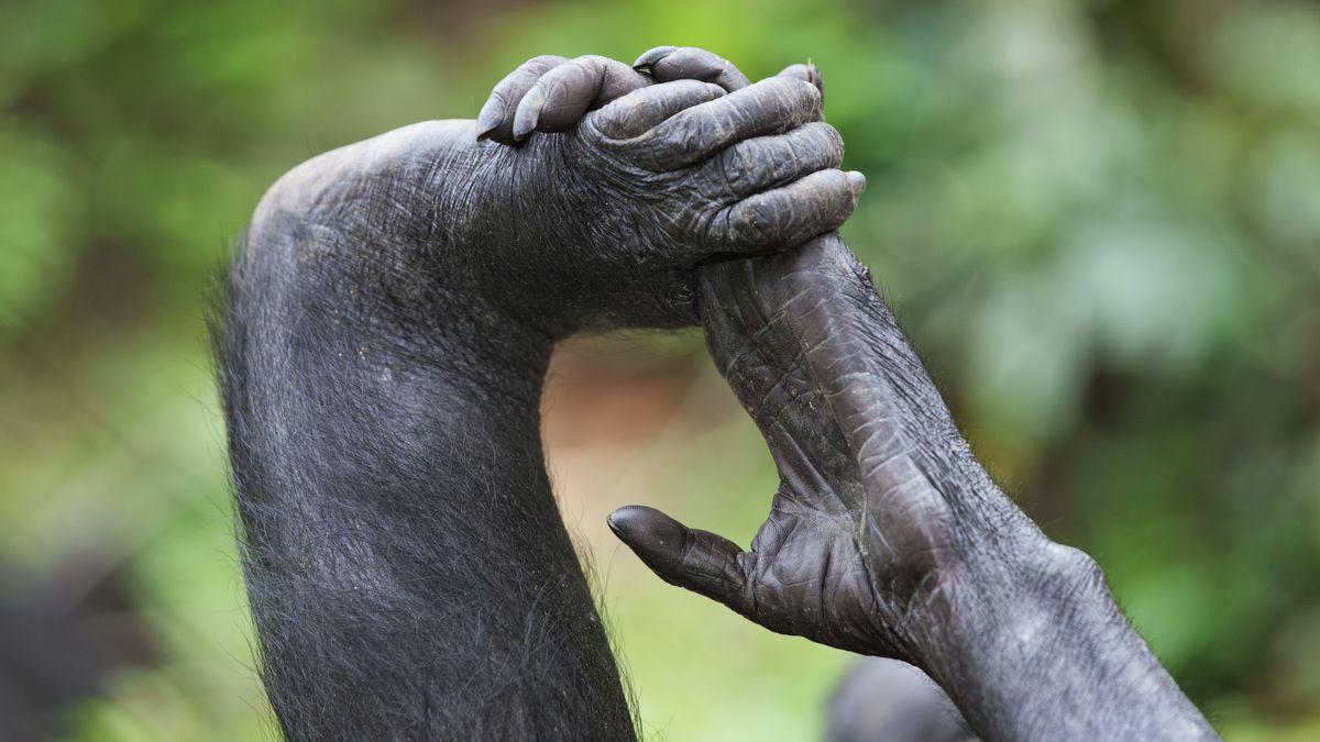 Hand und Fuß eines Zwergschimpansen (Bonobo) - Symbolbild
