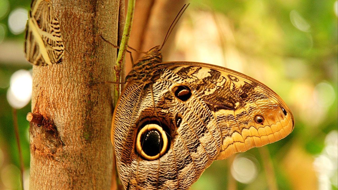 Mimikry: Bananenfalter mit Auge auf dem Flügel