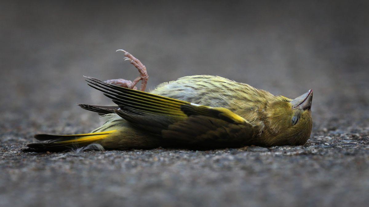 Toter Grünfink (Symbolfoto)
