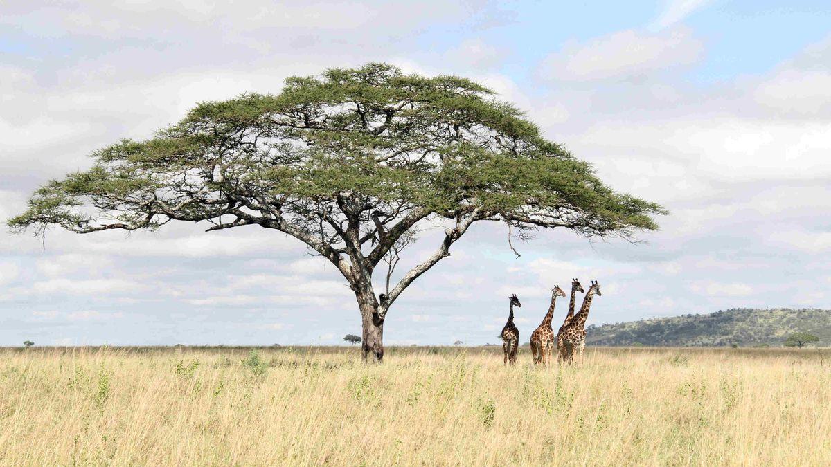 Giraffen in der Steppe des Serengeti Nationalparks, Tanzania.