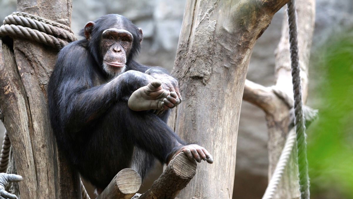 Ein Schimpanse sitzt im Leipziger Zoo auf einem Kletterbaum und schaut in die Kamera