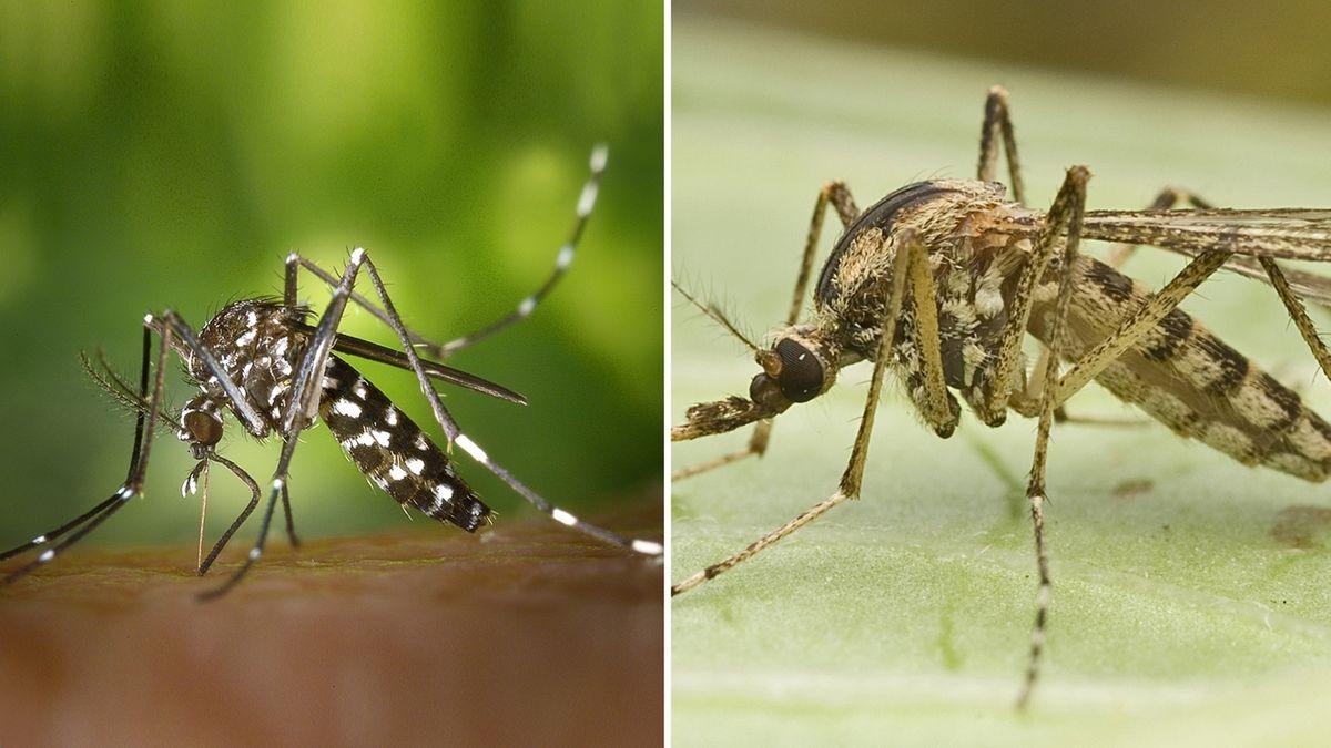Asiatische Tigermücke (links) und Ringelschnake (rechts) im Vergleich
