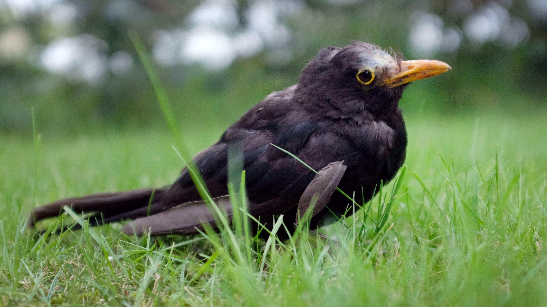 Eine vermutlich am Usutu-Virus erkrankte Amsel hockt im Gras.