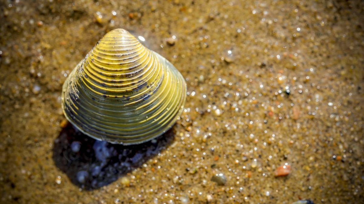 Symbolbild: Körbchenmuschel im Sand