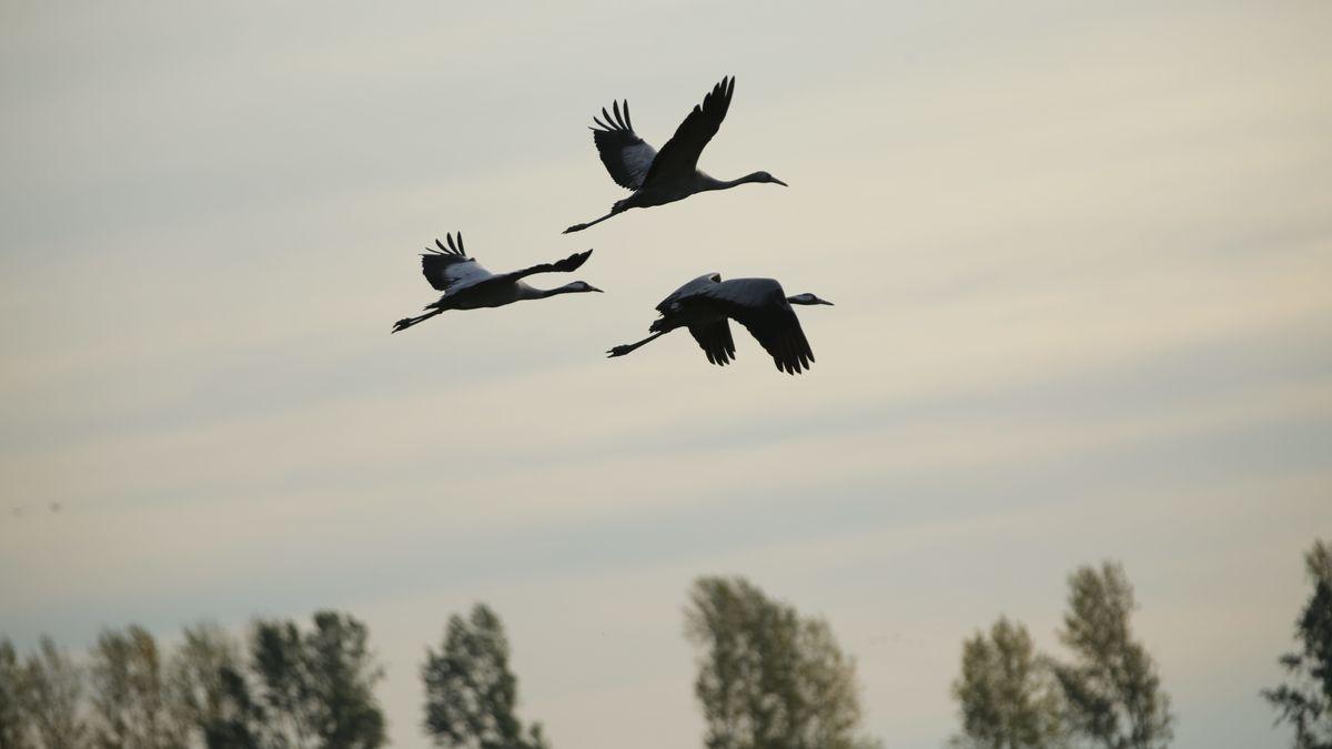 Drei Kraniche fliegen über Linum bei Brandenburg