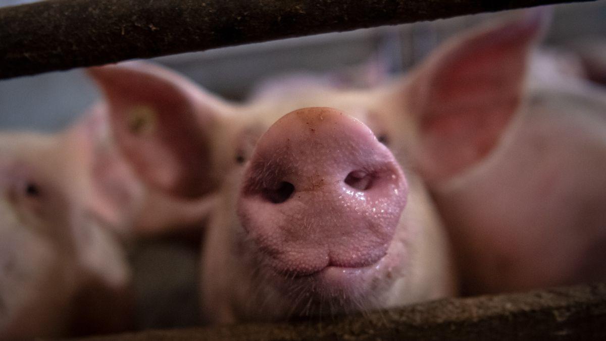 Schweine in einem Stall (Symbolbild)