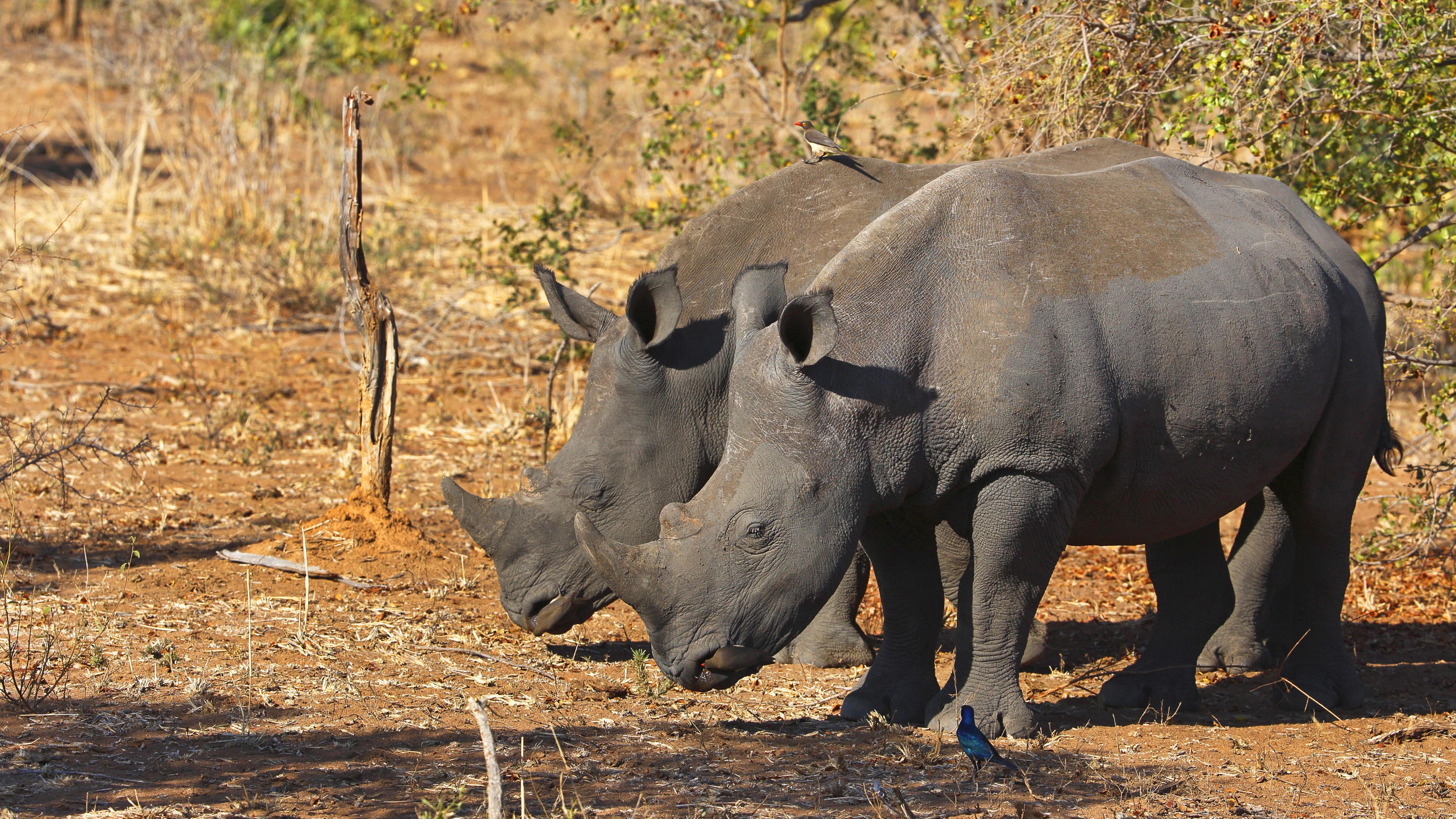 Zwei Breitmaul-Nashörner fressen Gras in der Buschsavanne, Seitenansicht, Suedafrika