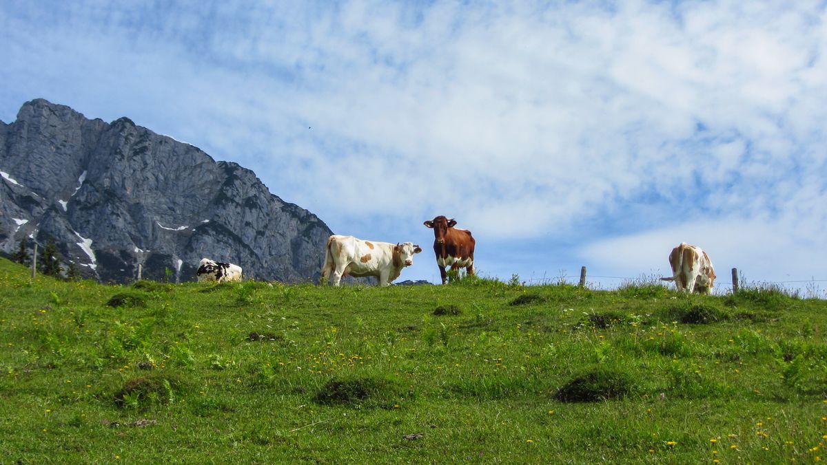 Pinzgauer Kühe auf einer Alm.