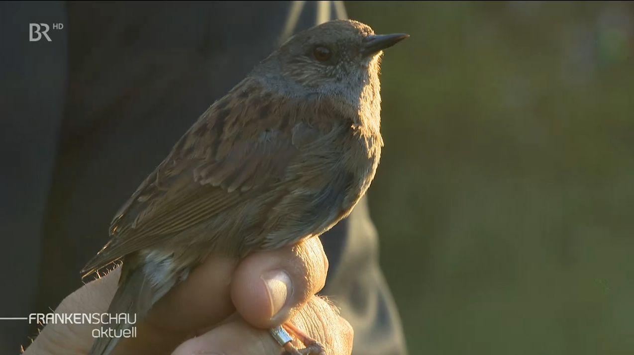 Singvögel in Oberfranken