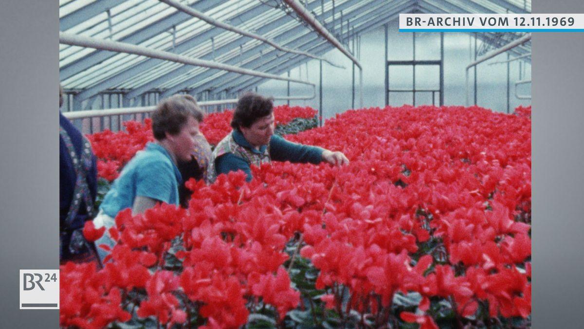 Gärtnerinnen im Gewächshaus voller roter Alpenveilchen