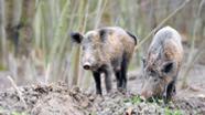 Wildschweine | Bild:colourbox.com