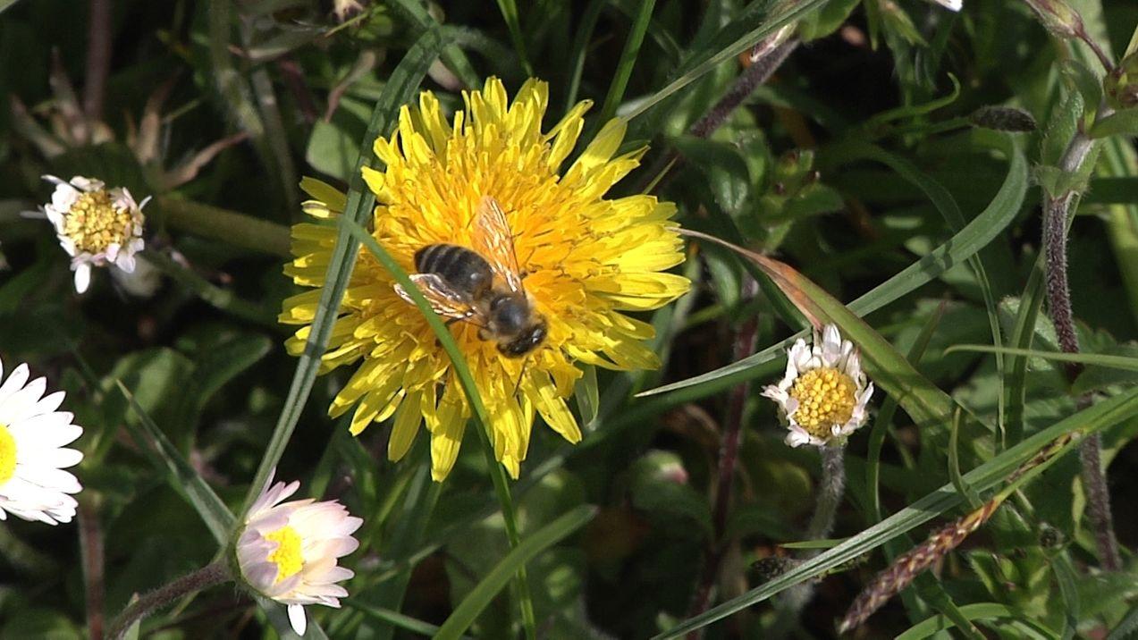 Eine Biene auf Löwenzahn in Ettringen