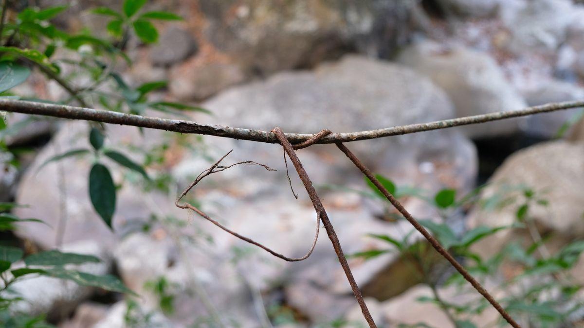 Eine junge und eine etwas ältere Luftwurzel des Gummibaums Ficus elastica wurden zu einem Netzwerk verknotet, wodurch sie sich verkürzen und straffen. Später werden die Wurzeln an dieser Stelle miteinander verwachsen.