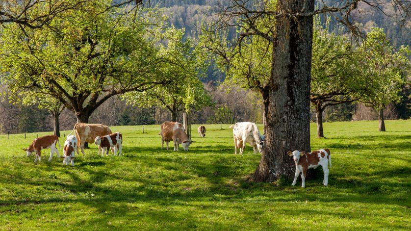 Kühe mit ihren Kälbern auf einer Weide.