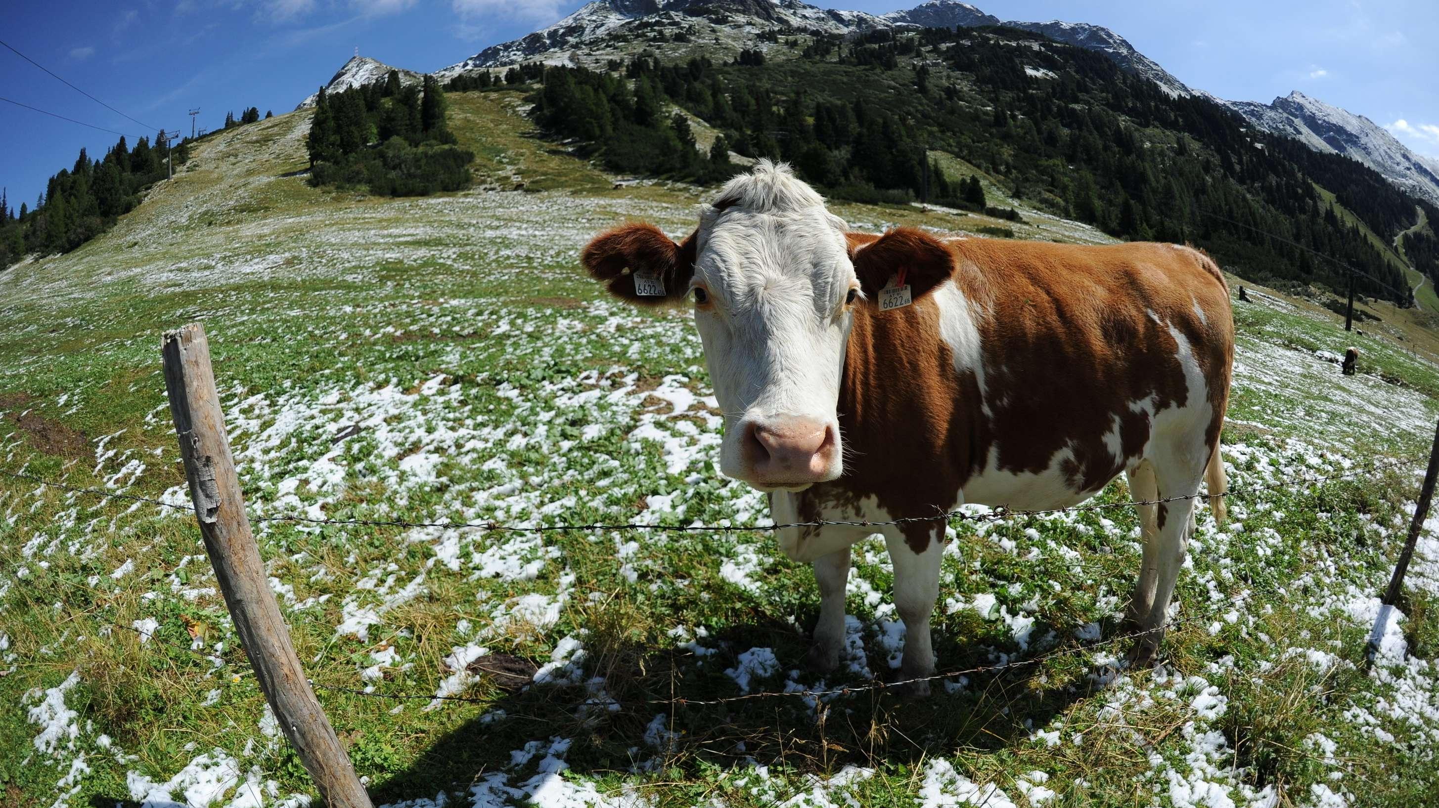Kuh auf Alm auf einer Alm, auf der noch etwas Schnee liegt
