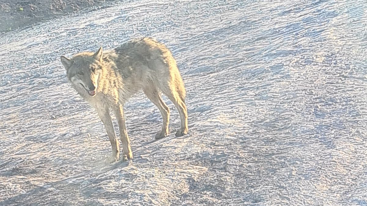 Wolf auf der Baustelle