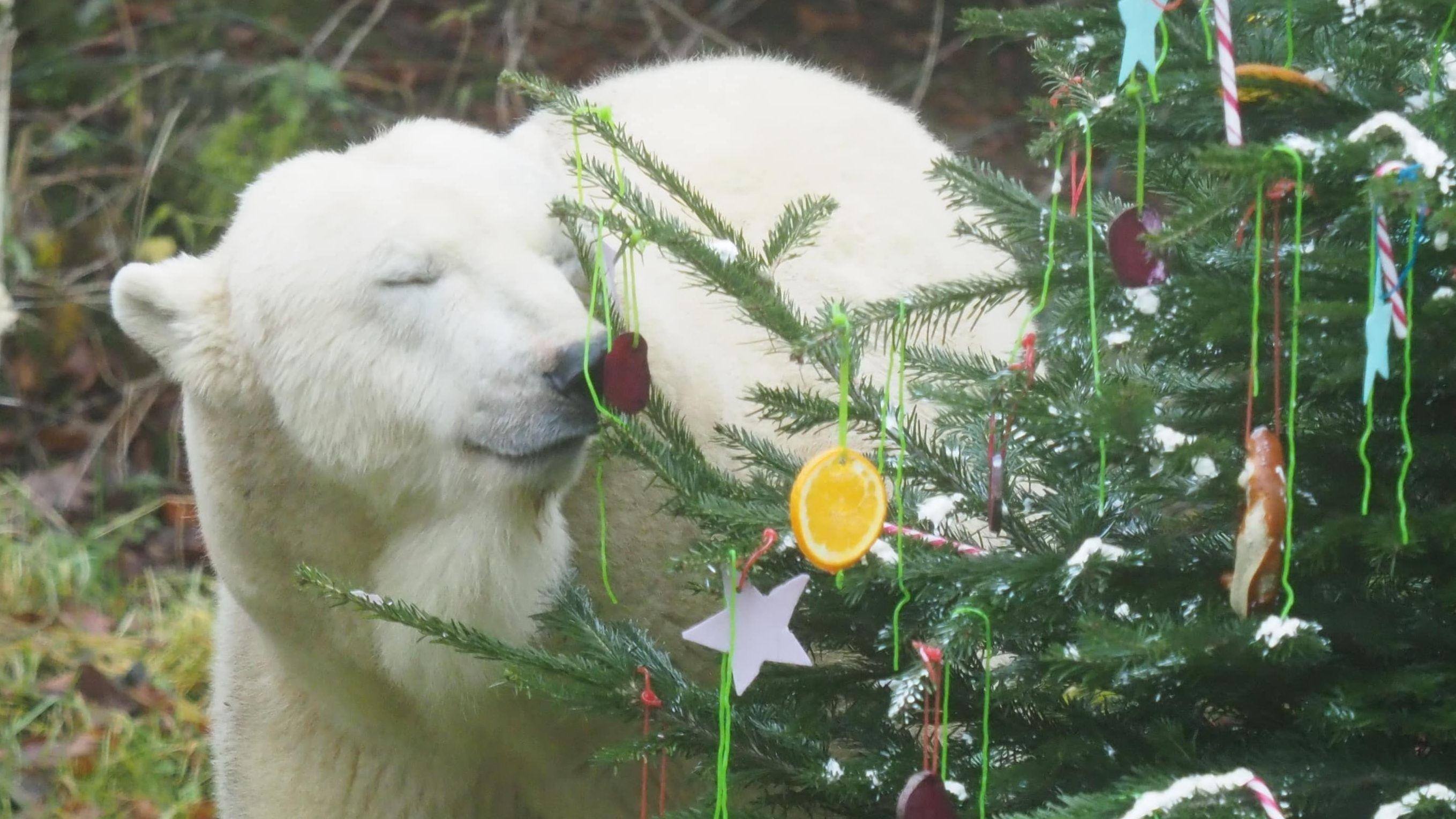 Eisbärin Giovanna riecht an einer Leckerei an ihrem Christbaum.