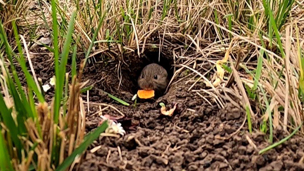 Auf einer Wiese schaut eine Felmaus aus einem Mäuseloch