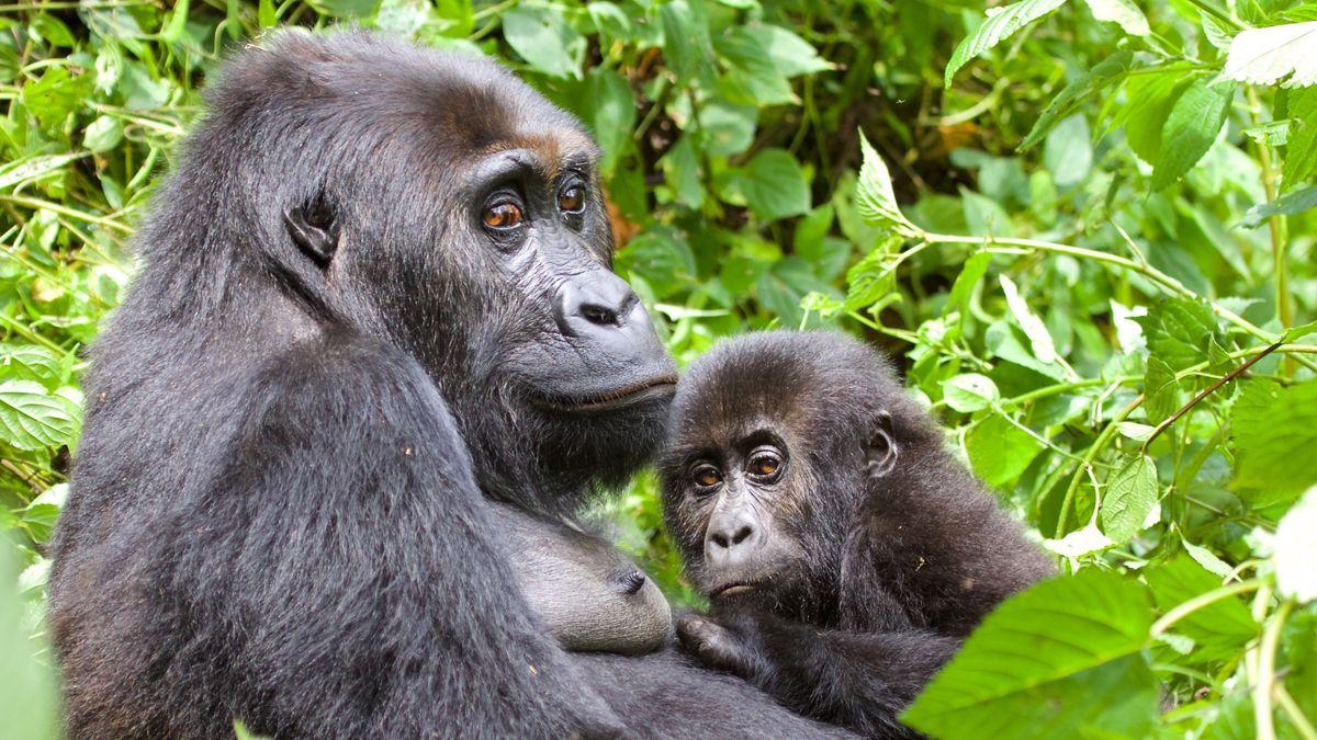 Östlicher Flachlandgorilla im Kongo