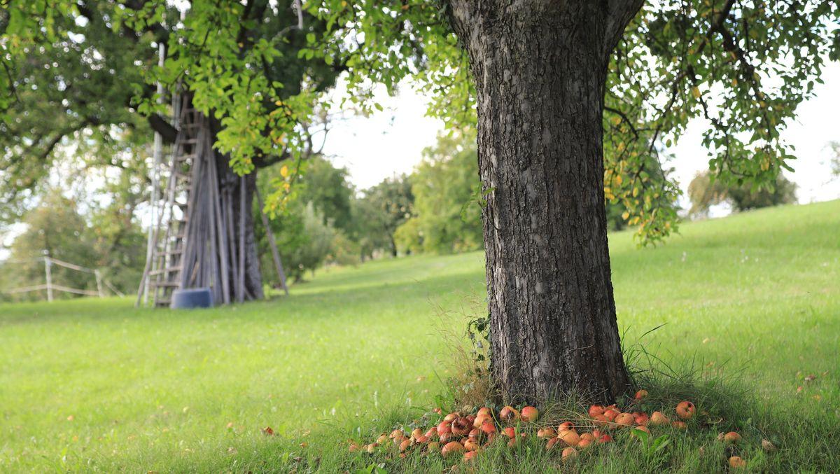 Äpfel am Boden unterhalb eines Baumes (Symbolbild)