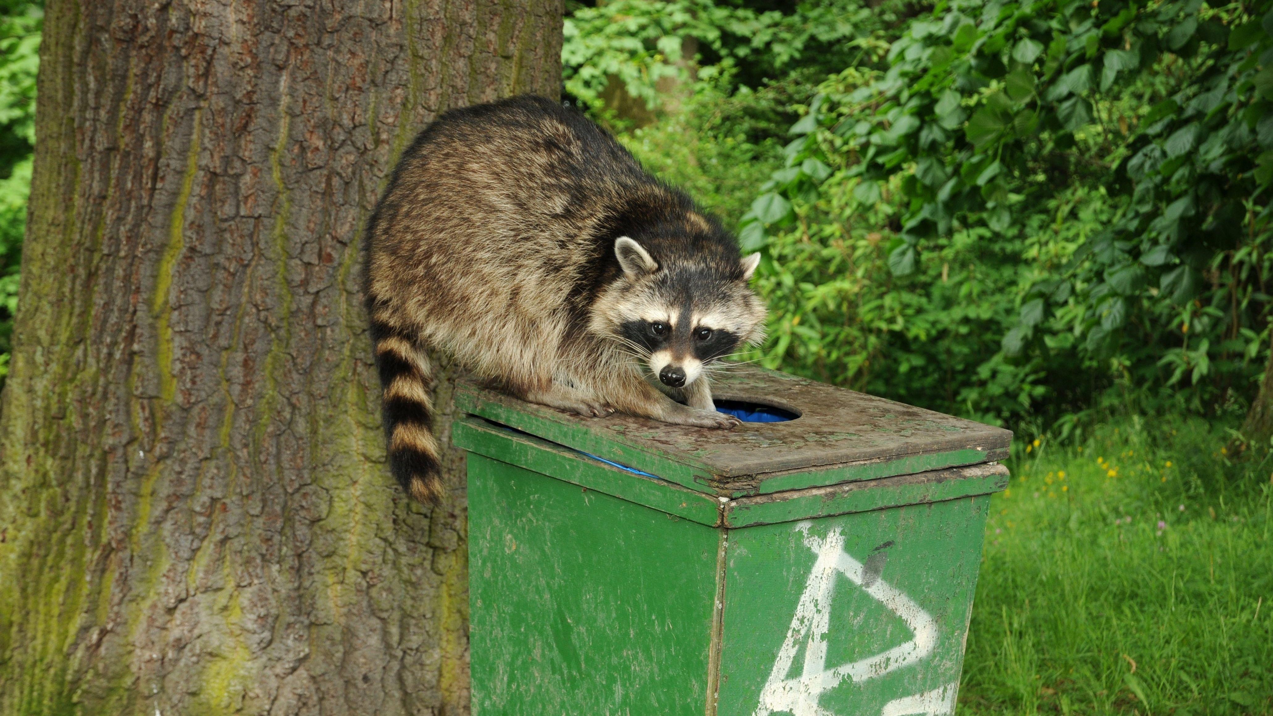 Ein Waschbär sitzt auf einem öffentlichen Mülleimer.