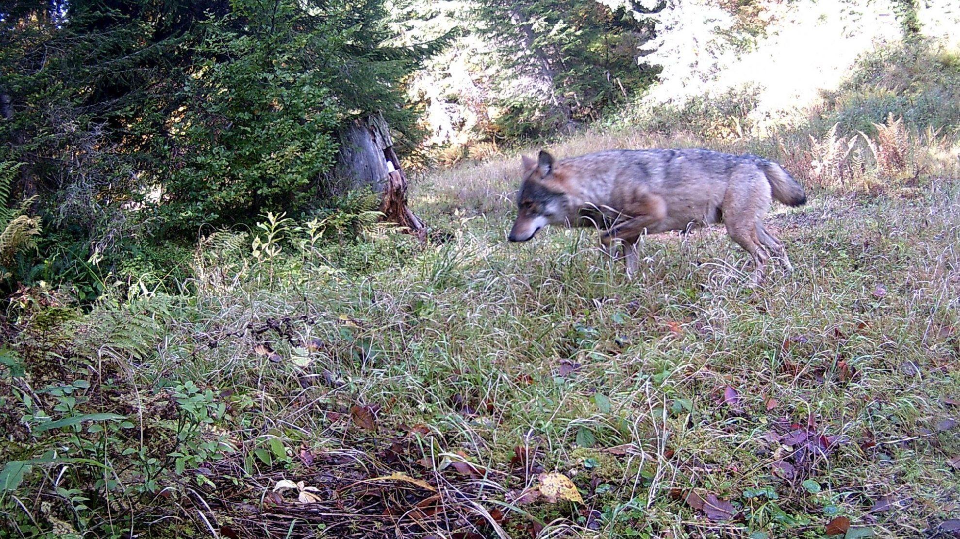 Foto eines Wolfes, der im Oberallgäu unterwegs ist.