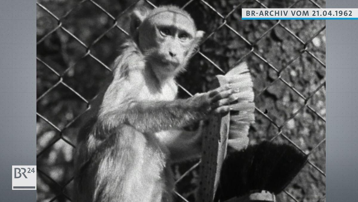Affe mit Bürste in den Händen.