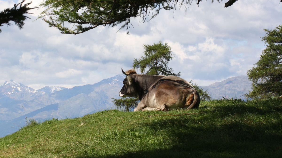Symbolbild: Kuh auf Alm