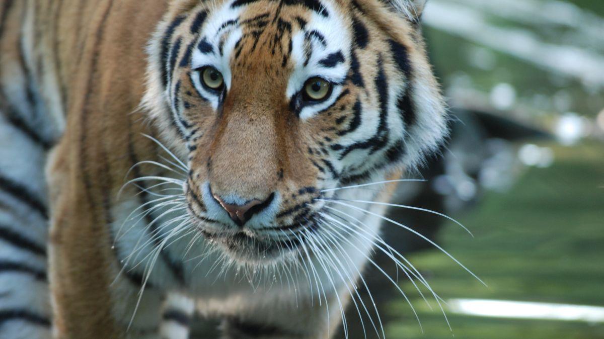 Ein Tiger im Grünen.