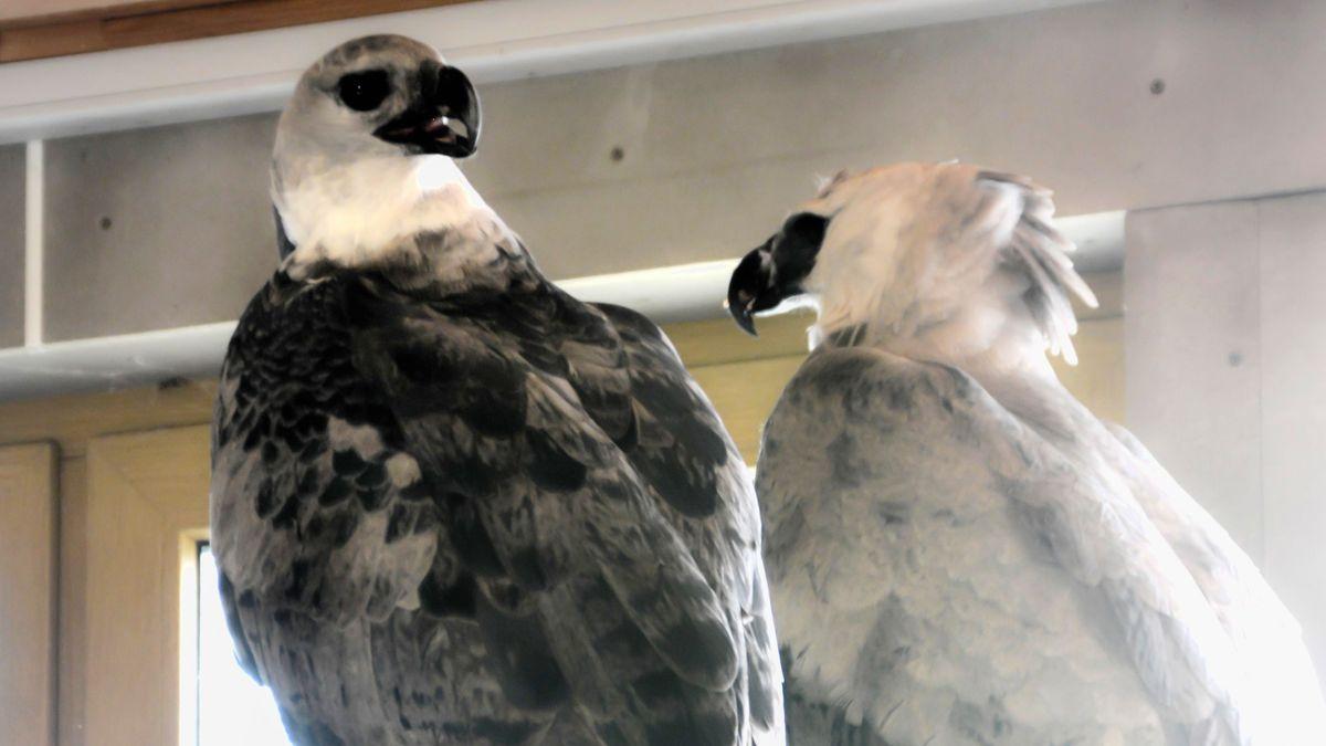 Das neue Harpyien-Paar im Tiergarten Nürnberg.