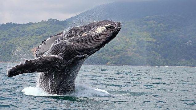 Ein riesiger Buckelwal taucht über der Wasseroberfläche auf.