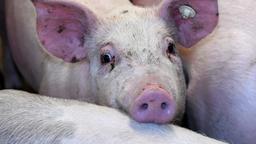 Schweine in der Massentierhaltung: Die Ammoniak-Emissionen aus Gülle sind Hauptverursacher für die besonders hohe Feinstaubbelastung.    Bild:dpa/Carsten Rehder