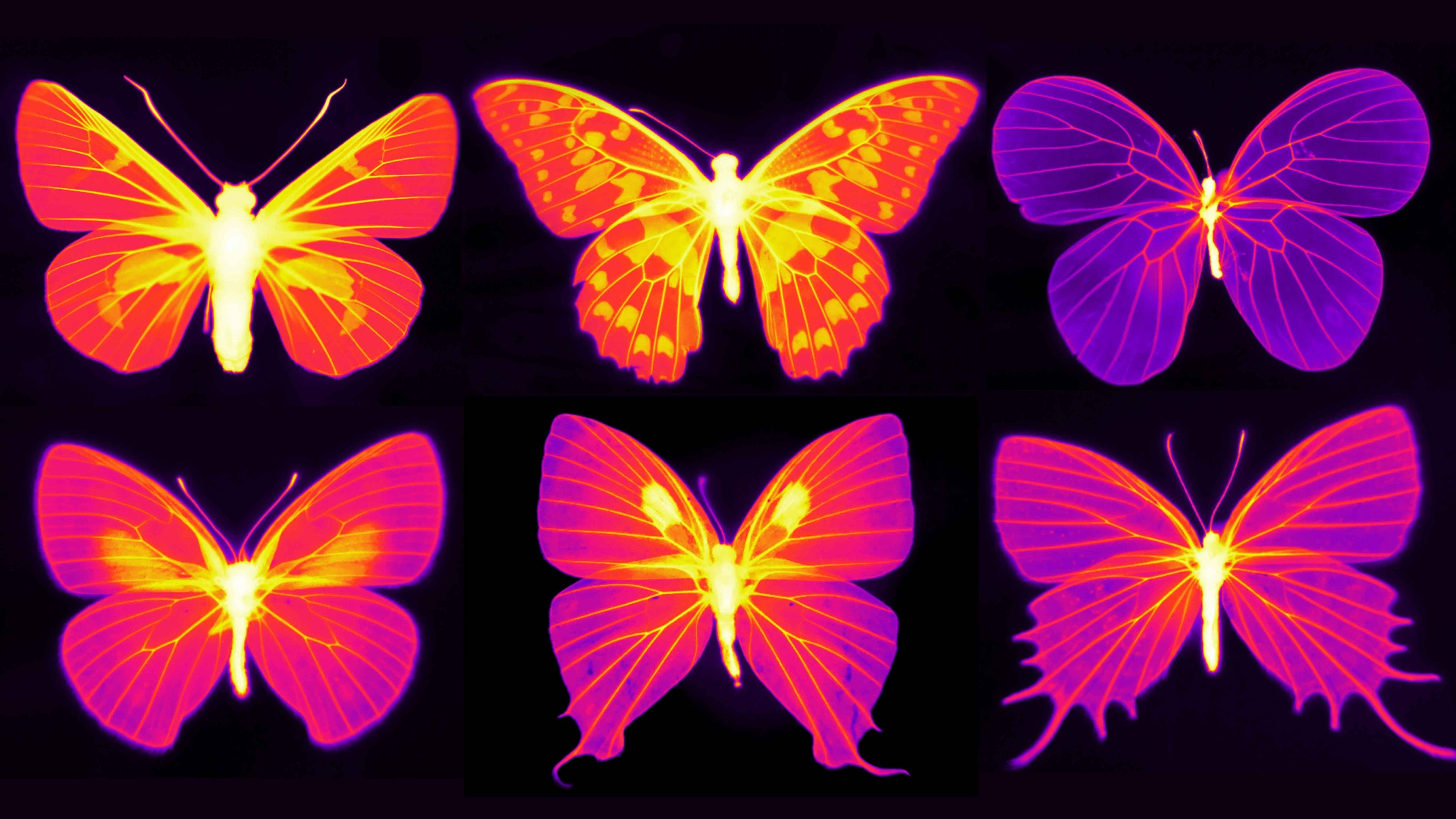 Schmetterlingsflügel unter Infrarotlicht