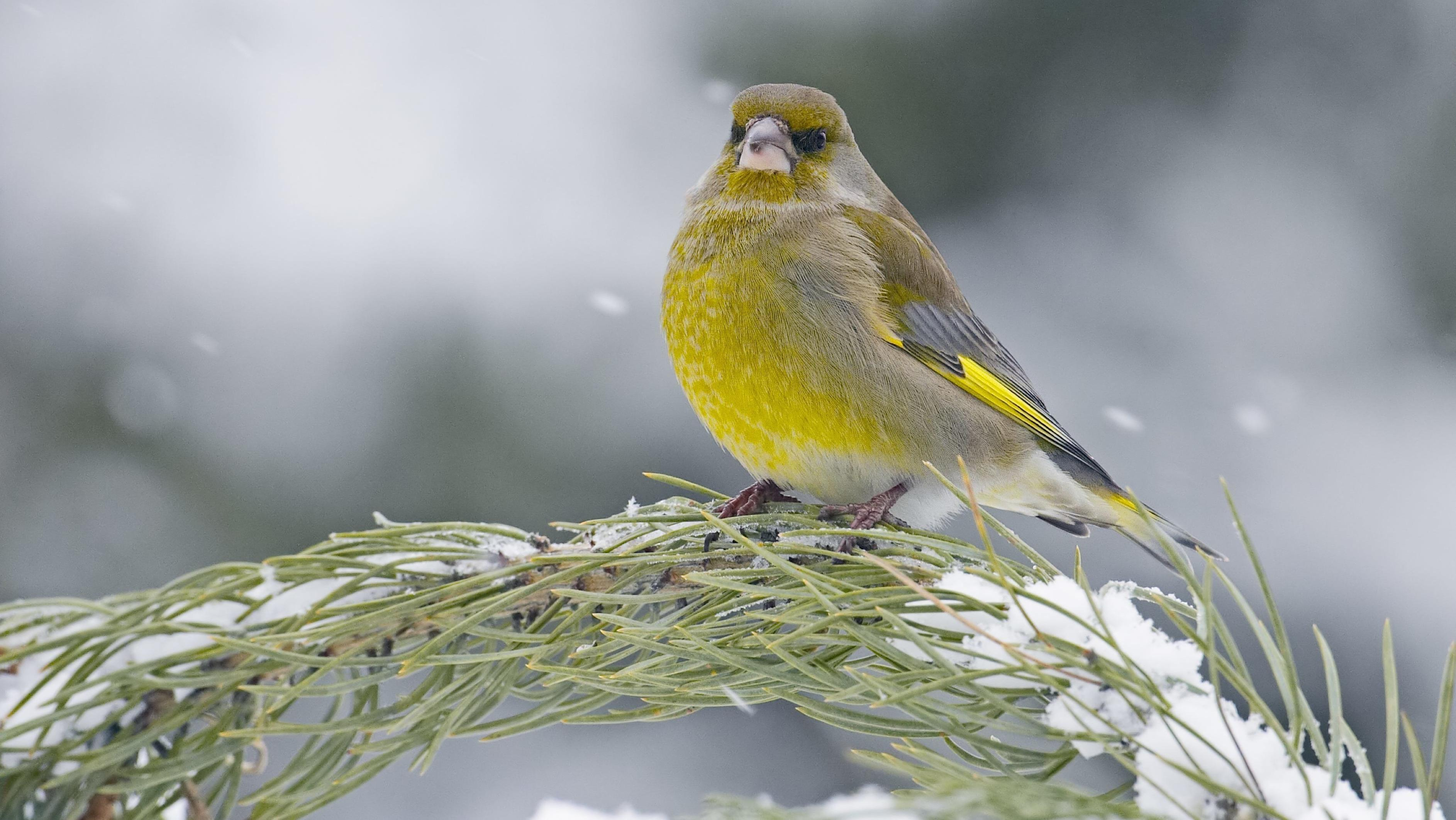 """Grünfink-Männchen. Wie sich der Grünfink-Bestand entwickelt hat, darüber soll die Vogelzählung bei der """"Stunde der Wintervögel"""" 2019 Aufschluss geben."""
