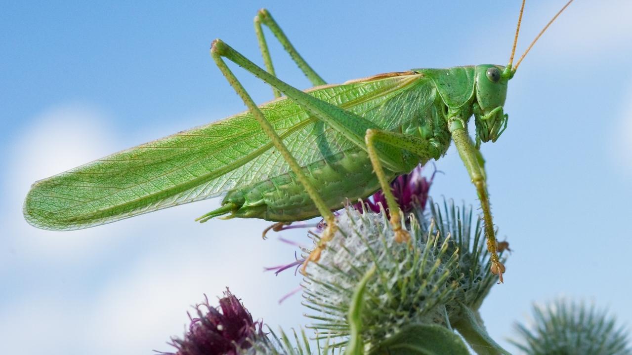 Eine grüne Heuschrecke auf einer Blüte