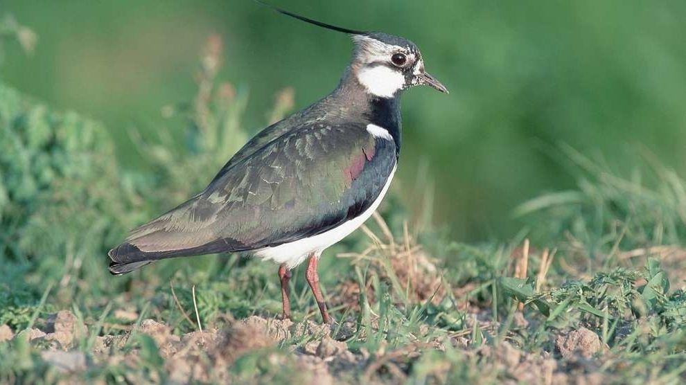 Der Kiebitz brütet wie der Große Brachvogel oder andere Wiesenbrüter gerne in Feuchtwiesen. Doch dieser Lebensraum wird immer seltener. Die Bestände der Wiesenbrüter nehmen seit Jahrzehnten ab.