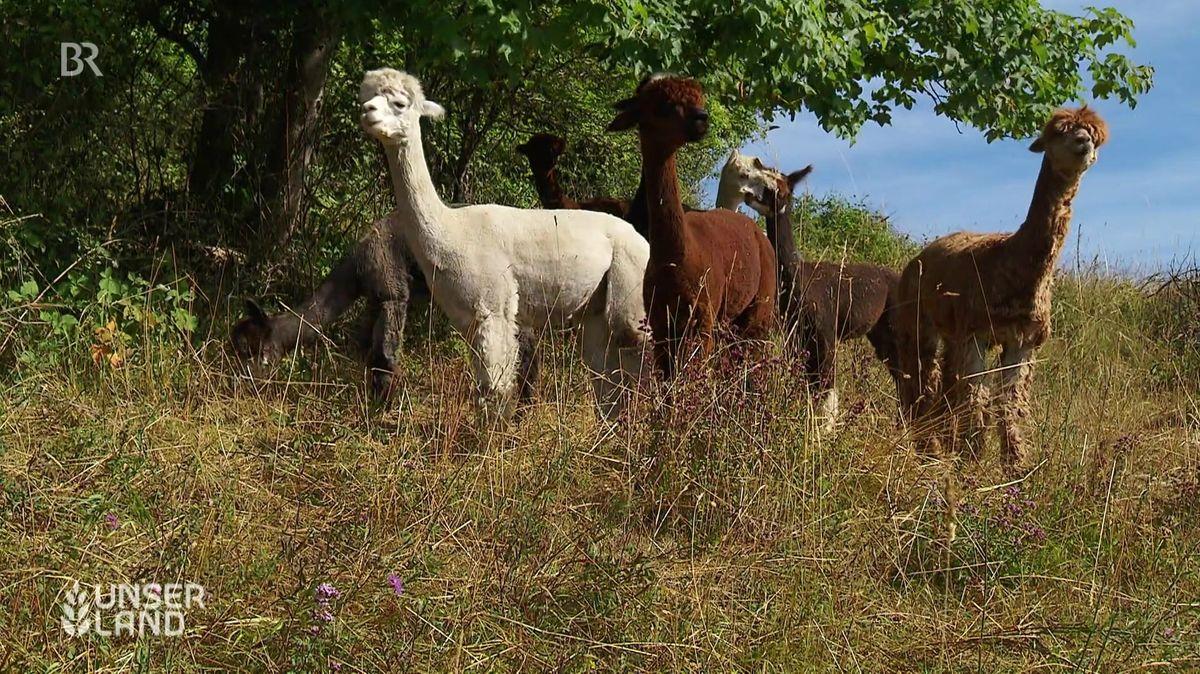Alpakas auf der Weide